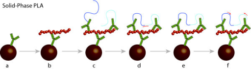 Schematic illustration of SP-PLA. (a) Capture antibodies are immobilized on a microparticulate solid support followed by (b) capture of target molecules from the biological sample. (c) Next, the beads are incubated with a pair of PLA probes - that is antibodies with attached oligonucleotides - where after excess probes and other reaction components are removed by washes. (d) Next a cocktail of reagents are added for probe ligation guided by a connector oligonucleotide, and for real-time PCR. (e) After a brief ligation step, (f) ligation products representing detected protofibrils are detected and quantified by real-time PCR.