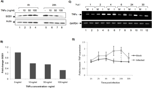 Regulation of SOD1 expression by TNFα.A) 106 HSAECs were maintained in serum-minus media for 48 h. Twenty four h later, they were treated with 10, 50 and 100 ng/ml of TNFα. Total cell extracts were obtained at 4 and 24 h post addition of TNFα. The extracts were run on 4–20% Tris glycine gels and transferred on to nitrocellulose membranes. The membranes were probed with anti-SOD1 antibody. Actin was used as a loading control. B) The band intensities for all SOD1 bands were calculated using the quantity one software and Bio-Rad imaging system. All quantifications represented included normalization to actin band intensity. Quantification of SOD1 is shown for the 24-h time point and is the average of two independent experiments. C) Total RNA was extracted from MP12 infected (I) and uninfected control cells (M) at 1, 2, 4, 6, 24 and 30 h post infection. RT-PCR was performed with primers to TNFα. GAPDH was used as a control. D) Quantification of fold differences in TNFα expression between uninfected control cells and MP12-infected cells over the indicated time course. * indicates p = 0.01. Data comprises results from three experiments.