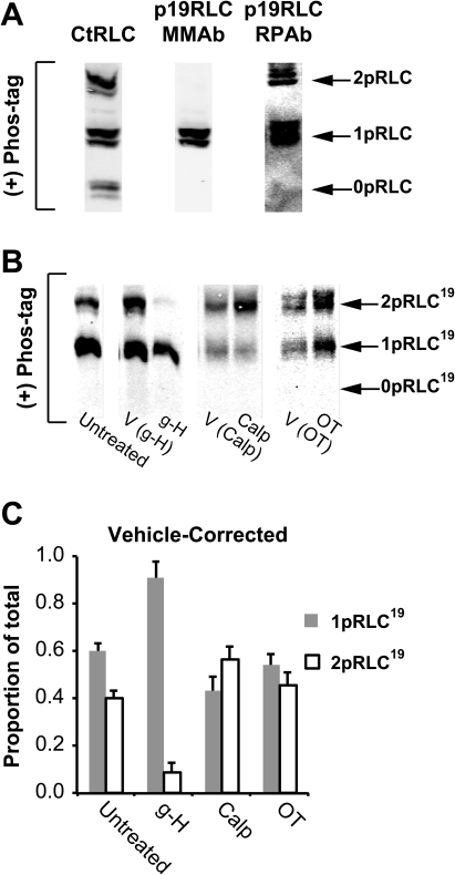 Demonstration of Phospho-S19-RLC phospho-state distribution in uterine myocytes.A. Detection of 0pRLC, 1pRLC and 2pRLC separated by Mn2+-phos-tag SDS-PAGE with an Ab toward the C-terminus of RLC (CtRLC) and two Abs (mouse MonoclonalAb [MMAb] and rabbit PolyclonalAb [RPAb]) directed toward phospho-S19-RLC. B. Representative WB demonstrating RLC phospho-states separated by Mn2+-phos-tag SDS-PAGE and probed using PRAb from panel A. Uterine myocytes were lysed and total protein was harvested after the following treatments: untreated, or treated with g-H, Calp, OT, or with their corresponding vehicles. C. Vehicle-corrected distribution data for 1pRLC19 and 2pRLC19 obtained by normalizing the data in panel A to the untreated group distribution. g-H (1 µM, n = 5). Calp (0.5 mU/mL, n = 10). OT (100 nM, n = 10). All data are shown as means ± SEMs. The corresponding numerical data are compiled in Table 2.
