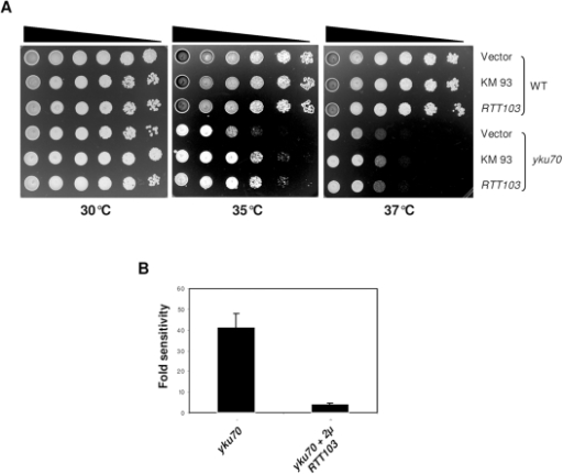 RTT103 partially suppresses the yku70 ts phenotype.WT (KRY193) and yku70 (KRY172) mutants were transformed with empty vector, KM93 and RTT103. 5 µl of 10-fold serial dilutions of yeast cultures were plated on SC-LEU plates and incubated at 30°C, 35°C and 37°C for 2–3 days. (1b) Quantification of temperature sensitivity. The temperature sensitivity of yku70 was quantified by plating out appropriate dilutions of 3 independent cultures at the appropriate temperatures. Sensitivity of WT was set to 1. yku70 is approximately 40 fold sensitive and upon overexpression of RTT103, the sensitivity to temperature is reduced by approximately 7 to 8 fold. Error bars indicate SD.