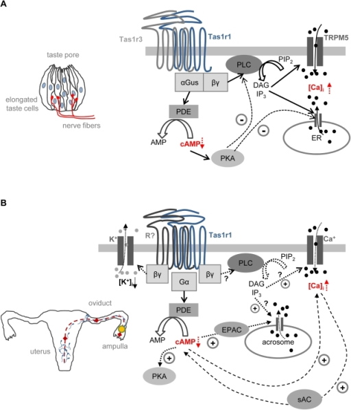 Working model illustrating a possible functional role of tastereceptor signaling in taste cells and spermatozoa.[A] Model for the transduction cascade of theumami receptor in taste cells. On the left, a schematic drawing of theonion-like structure of a single taste bud formed by elongated tastecells is shown. The peripheral ends of the 50–100 taste cells inone taste bud terminate at the gustatory pore; taste information iscoded by afferent nerve fibers which innervate the taste buds and comeclose to type II receptor cells but only form conventional chemicalsynapses with the basolateral membrane of type III taste cells. In tastecells, the Tas1r1 and Tas1r3 receptors form a functional dimer which isable to recognize amino acids such as MSG. Upon ligand binding, theumami receptor activates a trimeric G Protein consisting ofα-gustducin [αGus] andβ3 and γ13[βγ]. The βγ subunitactivates phopholipase Cβ2[PLC] which cleaves phosphatidylinositol 4,5-bisphosphate [PIP2] to inositoltrisphoshate [IP3] anddiacylglycerol [DAG]. IP3 mediatesan increase in intracellular calcium by activation of calcium channelsin the endoplasmic reticulum [ER] andsubsequently an influx of calcium through ion channels in the plasmamembrane [TRPM5]. Simultaneously, releasedα-gustducin can activate phosphodiesterase, resulting in a decreaseof intracellular levels of cyclic adenosine monophosphate[cAMP]. A crosstalk between the twopathways exists through a cAMP regulated activation of protein kinas A[PKA] which inhibits PLC and theIP3-receptor in the ER. This mechanism may ensureadequate Ca2+ signaling to taste stimuli by keeping thetaste cell in a tonically suppressed state. The drawing was modifiedfrom Ref. [45] and [109].[B] Putative model of Tas1 taste receptorsignaling in spermatozoa. The schematic drawing in the left signifiesthe sperm's journey in the different sections of the female genitaltract [uterus, oviduct,ampulla] which sperm have to transit to reachthe egg in the ampullar region of the oviduct (dotted red line). Insperm cells, the Tas1r1 protein [Tas1r1] maydimerize with its taste partner Tas1r3 or with a yet not identifiedreceptor [R?]. G protein activation resultsin the release of a G protein α-subunit[Gα] which activatesphosphodiesterase [PDE], thus leading to thehydrolysis of cAMP. In this model, an activation of the receptor dimer[Tas1r1/R?] by chemosensory ligandswithin the different regions of the female genital tract (red rhoms) ora constitutively active receptor may ensure low cAMP levels, therebypreventing cAMP-triggered maturation processes of the sperm, likecapacitation, motility or acrosome reaction, before the sperm reachesthe egg in the ampullary part of the oviduct. If the simultaneouslyreleased Gβγ complex [βγ]indeed stimulates PLC in analogy to taste cells or alternativelyactivates potassium [K+] channels in sperm, iscurrently not clear. Constant cAMP hydrolysis can be overcome duringsperm maturation either by an decrease in taste receptor activationcontrolled by changes in the composition of chemical components in thedifferent fluids of the female genital tract or by an increase in[Ca2+]i, or high bicarbonateconcentration which would lead to an activation of the solubleadenylatecyclase [sAC] in spermatozoa. Forseek of simplicity, regulatory effects of PKA activation or EPACstimulation on calcium channels or the IP3 receptor areomitted in the model.