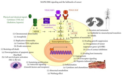 MAPK/ERK signaling and the hallmarks of cancers. The MAPK/ERK pathway mediates several upstream signals from well-known oncogenic growth factors and proinflammatory stimulants. Activation of the MAPK/ERK pathway by growth factors, proinflammatory stimulants and gain-of-function mutations of Ras/Raf promotes phenotypic changes characteristic of cancer cells [9–14].