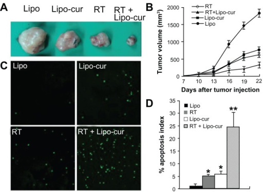 Lipo-cur sensitizes cancer cells to RT. (A and B) C57BL/6J mouse tumor model was established by subcutaneous injection with 5 × 105 LL/2 cells. Mice (six mice in each group) were treated with 100 μg of Lipo-cur (▲) (intravenous route), RT (⋄), Lipo-cur (intravenous route) and RT (■), or Lipo solution alone (●). Significant difference was found in tumor volume (*denotes P < 0.05) between RT-curcumin group and those two methods alone. Points, mean (n = 8); bars, standard deviation. (C and D) Apoptosis of lung cancer cells was detected using TUNEL analysis. The percentage of apoptosis was determined by counting the number of apoptotic cells and dividing by the total number of cells in the field (five high power fields per slide).Notes: The combined treatment with Lipo-cur and RT resulted in significantly increased apoptosis compared with that of other groups (*denotes P < 0.05, **denotes P < 0.01); bars, standard deviation; columns, mean.Abbreviations: Lipo, empty liposome; Lipo-cur, liposomal curcumin; RT, radiotherapy; TUNEL, terminal deoxynucleotidyl transferase dUTP nick end labeling.
