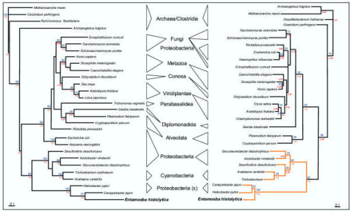 Phylogenetic analysis of E. histolytica IscS and IscU protein sequences using a similar taxonomic sampling. Depicted are unrooted maximum likelihood phylogenetic trees of 29 IscS (left) and 28 IscU (right) protein sequences. The E. histolytica sequences are recovered as part of a well supported monophyletic group comprising the gut bacteria H. pylori and C. jejuni. The orange branches represent those sequences containing the long IscU isoform. Numbers in red represent posterior probabilities as determined by MrBayes [55] where a value of 1.0 represents maximum support (only values above 0.75 are shown). Values in blue represent bootstrap values as determined using PHYML [57], only bootstrap values above 50% are shown.
