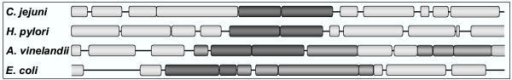 Schematic representation of Isc/Nif operons from different bacteria. Shown is an area of about 10 kb around the IscU/S or NifU/S genes from C. jejuni, H. pylori, A. vinelandii, and E. coli. Isc/Nif genes are indicated by a dark grey box and other genes that are part of the Isc-operon are indicated by a lighter shade of grey. Genes that are not part of the Isc/Nif operon are of yet a lighter shade. Boxes are drawn proportionally with regards to length of the ORF.