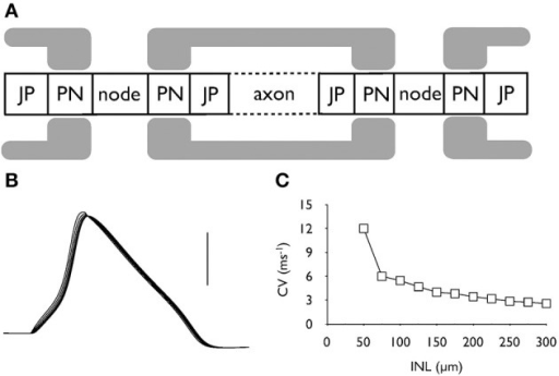 Action potential conduction along the central portion of the auditory nerve. (A) Schematic model of the axonal compartments in the control auditory nerve model. (B) Evoked action potentials recorded at six successive nodes illustrating action potential conduction along an axon. Scale bar is 50 mV and the duration of the recording is 2 ms. (C) The conduction velocity decreases as internodal length (INL) is increased from the control value of 100 μm.