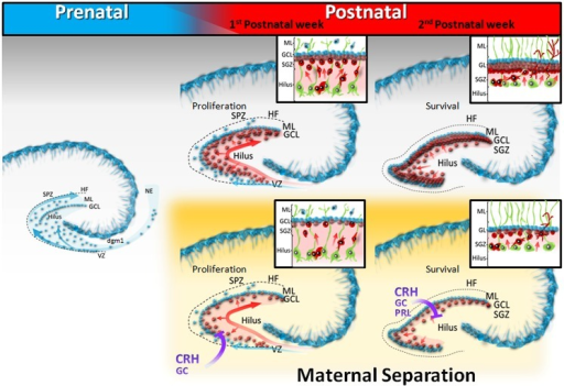 Schematic diagram of dentate gyrus development in postn | Open-i