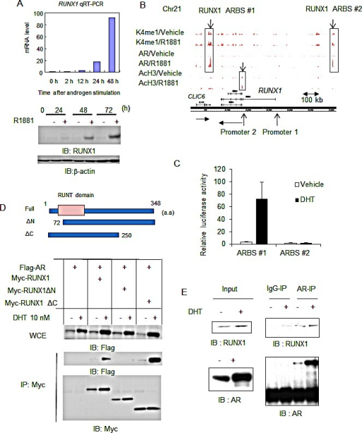 RUNX1, a direct target of AR in prostate cancer cells, interacts with AR androgen-dependently(A) RUNX1 is induced by androgen. LNCaP cells were treated with 10 nM R1881 or vehicle. Expression level of RUNX1 mRNA was measured by qRT-PCR. Data represent mean + s.d., n = 3. Western blot analysis of RUNX1 was performed. β-actin was used as a loading control. (B) ChIP-seq analysis of AR, AcH3 and K4me1 in the RUNX1 locus. Two ARBSs were identified (ARBS #1 at 60 kb 3′-downstream region, ARBS #2: at 250 kb 5′ -upstream region). Two promoter loci and the direction of transcription were indicated by arrows. (C) Luciferase assay was performed in LNCaP cells. Luciferase vectors including ARBS #1 and #2 were used. Cells were treated with 10 nM DHT or vehicle for 24 h. Data represent mean + s.d., n = 3. (D) (Upper) Three Myc-tagged expression vectors of RUNX1 and deleted RUNX1 variants were constructed. (Lower) Androgen dependent interaction of RUNX1 with AR. 293T cells were transiently transfected with Flag-AR and Myc-RUNX1 and after 24 h incubation cells were treated with vehicle or 10 nM DHT for 24 h. Immunoprecipitation by Myc-antibody and western blot analysis of Flag and Myc was performed. (E) Endogenous interaction of AR with RUNX1. LNCaP cells were treated with vehicle or 10 nM DHT for 24 h. Cell lysates were immunoprecipitated by RUNX1 antibody. Western blot analysis of RUNX1 and AR was performed.