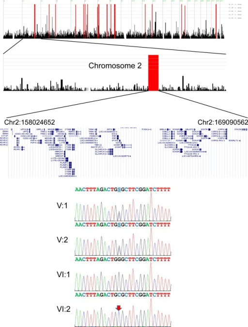 Mutational analysis. Autozygosity mapping identified candidate regions. Among the regions, a long region of loss of heterozygosity in chromosome 2 is drawn below. The region locations and genes in the regions are shown. Sanger sequencing chromatograms of the family members are shown. Nucleotide sequences are shown above the chromatograms. A red arrow indicates the mutation (c.517G>C, p.Gly173Arg). S indicates G or C nucleotides.