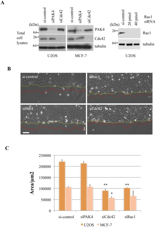 PAK4 loss does not affect collective migration rates of U2OS or MCF-7 cells.A) (Left panel) U2OS or MCF-7 cells were transfected with siRNA directed to PAK4 or Cdc42 as indicated. The cell lysates (30 μg per lane) were probed for expression of PAK4, Cdc42 or tubulin. (Right panel) U2OS cells were transfected with siRNA directed to Rac1 as indicated and the lysates were probed for expression of Rac1 or tubulin. B) Low power images of the same area of the monolayer scratch wound are shown before and after 4h cell migration into the gap. The wound-edge is represented in yellow and red corresponding to the start and end of imaging respectively. C) Bar chart depicting the area covered over 4h after the scratch was applied by either the U2OS or MCF-7 cells, with standard error of mean. The area was calculated using ImageJ software. *P value < 0.05, **P value < 0.005. Scale bar: 50μm.
