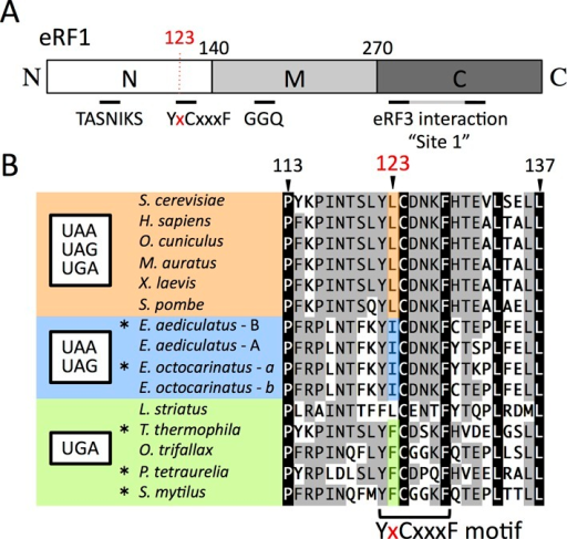 Domains and sequence alignment around L123 of Sc-eRF1. (A) Schematic drawing of the domain structure of eRF1. Three domains, according to the structure of eRF1 (domains N, M and C) are shown with the amino acid residue numbers at the domain junctions. Relevant motifs and sites mentioned in this manuscript are also indicated. (B) Alignment of eRF1 around the position-123 amino acid residue. Amino acid numbering is based on that of Saccharomyces cerevisiae eRF1. Position-123 is shown in red. The YxCxxxF motif is indicated at the bottom. Species with standard and variant stop codon specificity are shown in orange for UAA, UAG and UGA, blue for UAA and UAG and green for UGA. Amino acids at position-123 are highly conserved within each of those categories. The codon specificities of eRF1 indicated here with asterisks (*) have been reported previously (9,27–29) and others are proposed from their codon usage analysis (11,19).
