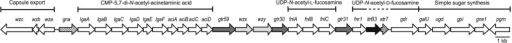 KL12 capsule gene cluster. Figure is drawn to scale from GenBank accession number JN107991. KL12 was reported previously in Kenyon, Marzaioli, De Castro (2015). Genes are arrows that indicate direction of transcription, and their names are shown above. Genes for capsule export are indicated on the left. Horizontal bars above the gene cluster indicate genes that direct the synthesis of nucleotide-linked sugars, with sugar names shown above. Glycosyltransferase genes are gray, and the initiating transferase gene is black. Striped genes are those encoding products that have no assigned function for the synthesis of K12.
