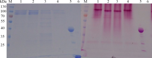 Staining of Glycoproteins in SDS-Polyacrylamide Gels.(A). SDS-PAGE of RKOD with or without digestion with Endo H. M, protein molecular weight marker (the size of each band is indicated on the left); lane 1, RKOD; lane 2, RKOD treated with Endo H; lane 3, denatured RKOD treated with Endo H; lane 4, denatured RKOD; lane 5, positive control (Horseradish Peroxidase) from the kit; and lane 6, negative control (Soybean Trypsin Inhibitor) from the kit. (B). Glycoprotein staining of RKOD with or without Endo H digestion. All samples were loaded in the same order as A.