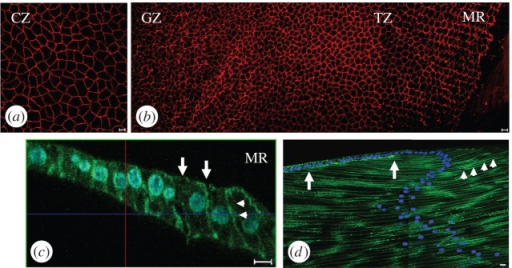 Cell shape and cell organizational changes across the bovine lens epithelium. (a,b) Cell profiles in CZ, GZ, TZ and MR of the flat-mounted bovine lens epithelium. Using the apical plasma membrane marker ZO-1 (red channel), the cells in the CZ (a) have the largest surface area (see electronic supplementary material, figure S1a). At the MR (b), the lens cells aligned into columns. Cells in the MRs have a hexagonal profile. Each column in the MR is offset by half a cell width to allow the interdigitation of neighbouring columns. (c) Actin staining in the TZ/MR is located mainly on the lateral (arrowheads) and apical (arrows) cell membrane in these elongated cells. Cell nuclei have been DAPI stained (blue channel) locate toward the apical ends of the lens cells. (d) N-cadherin (green channel) is concentrated along the lateral plasma membranes of lens fibre cells (arrows). It is also concentrated at the interface between the apical ends of epithelial cells in the TZ/MR and the most recently formed fibre cell (arrowheads). The concentration of N-cadherin between the two arrows at the interface between the apical ends of apposed epithelial and fibre cells identifies a region, which we interpret as the lens modiolus and fulcrum.