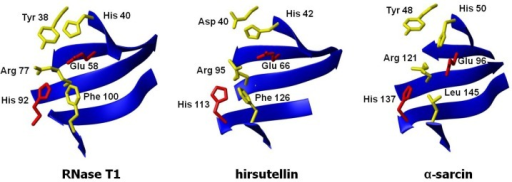 Three-dimensional structures of the active sites of ribotoxins α-sarcin and hirsutellin A (HtA) and the non-toxic fungal RNase T1. The structures were fitted to the peptide bond atoms of the active site residues of α-sarcin (His 50, Glu 96, and His 137) and RNase T1 (His 40, Glu 58, and His 92) and those at homologous positions in HtA (His 42, Glu 66, and His 113).