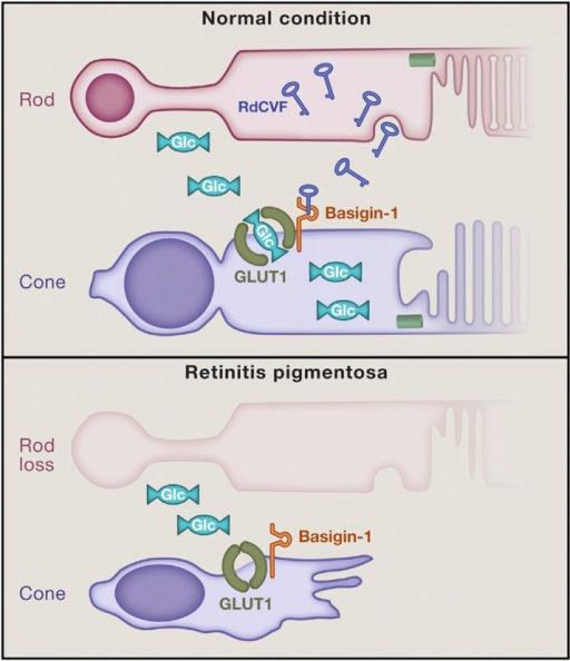 Rods secrete RdCVF, which bind to basigin-1 on cones to stimulate glucose uptake and aerobic glycolysis, promoting cone survival. Loss of rods (and thereby RdCVF) leads to cone degeneration. (Reprinted from Cell, 161, J. Krol and B. Roska, Rods feed cones to keep them alive, 706–708, 2015, with permission from Elsevier.)