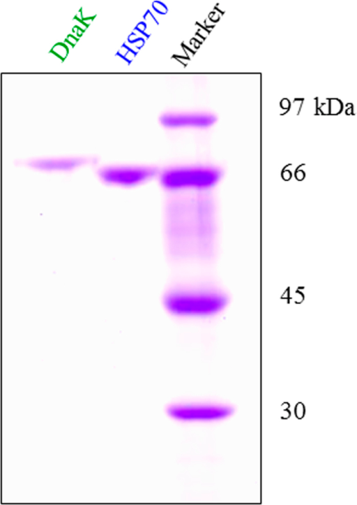 "Purified DnaK and HSP70.DnaK and HSP70 were purified as described under ""Materials and Methods"" and the purity was analyzed by SDS-PAGE (9% gels)."