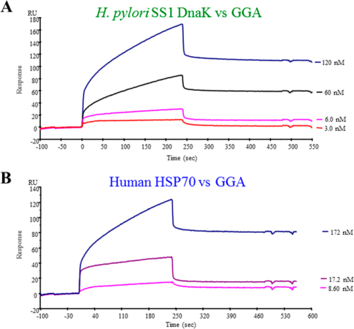 "Surface plasmon resonance analysis of the interaction between HSP70 or DnaK and GGA.A sensorgram for the binding of DnaK (A) or HSP70 (B) to GGA is shown. Different concentrations of GGA were injected as described under ""Materials and Methods"". RU, resonance units."