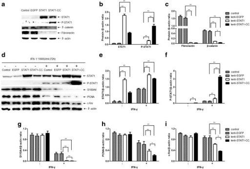 STAT1-CC increases STAT1 phosphorylation in lung cancer cells. a Western blot for pSTAT1, fibronectin and β-catenin in STAT1- or STAT1-CC-expressing SPC-A-1 cells. d Western blot for pSTAT1, S100A4, PCNA and c-fos in STAT1- or STAT1-CC-expressing SPC-A-1 cells treated with IFN-γ (1000 U/ml) for 72 h. β-actin was used as a loading control. b, c, e–i Western blot levels of indicated proteins were quantified with the ChemiDoc ™ XRS+ scanner and Image Lab Software imaging system in the SPC-A-1 cells. The densities of each sample were normalized to the β-actin