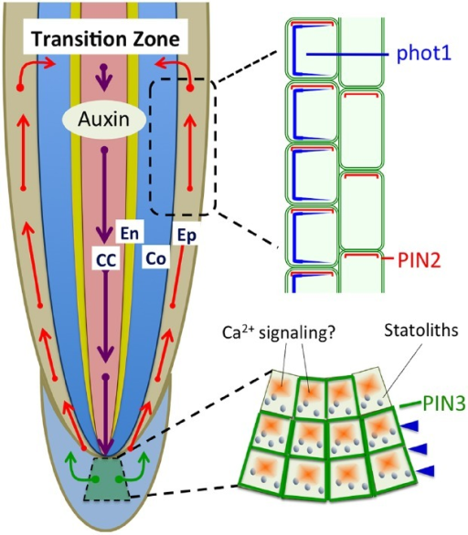 Polar auxin transport based on PIN1, PIN2, and PIN3 is light sensitive and involved in the light-induced negative phototropism of roots (Friml et al., 2002; Wan et al., 2012; Zhang et al., 2014). PIN1 is involved in the acropetal (rootward) auxin transport, PIN3 in the lateral auxin transport in statocytes, and PIN2 in the basipetal (shootward) auxin transport in epidermis and cortex cells. CC, central cylinder; En, endodermis; Co, cortex; Ep, epidermis.