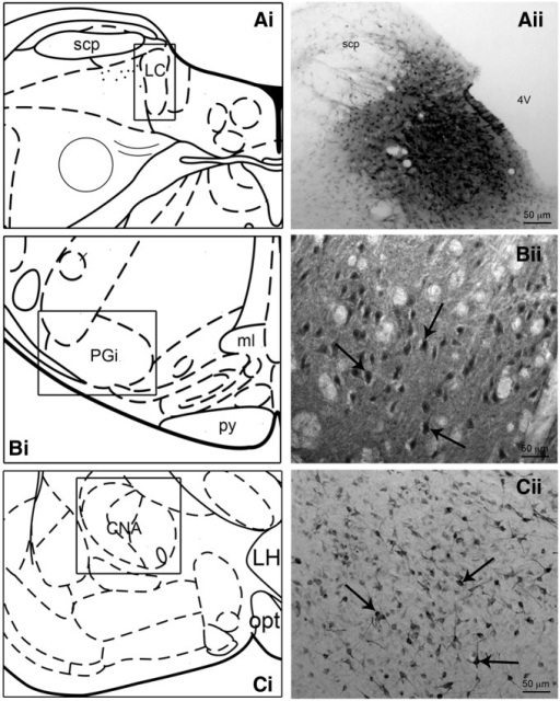 FG injection and retrograde labeling. Ai–Ci, Schematic diagrams adapted from the Rat Brain Atlas (Paxinos and Watson, 1998) showing the anteroposterior levels of the representative injection site (A) and retrograde labeling (B,C). Aii, Bright-field photomicrograph showing a representative FG injection within the rat LC. Bii–Cii, Bright-field photomicrographs of representative retrograde labeling in the nucleus PGi (Bii at ∼Plate 67; Paxinos and Watson, 1998) and CNA (Cii at ∼Plate 26; Paxinos and Watson, 1998) following FG injection into the LC. The arrows indicate immunoperoxidase labeled cells. Scale bars: A, 50 μm; B, C, 25 μm.
