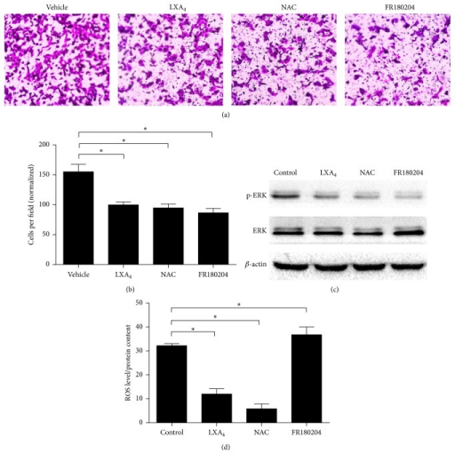 LXA4 negatively regulated cell invasion by inhibiting ROS/ERK pathway. (a) Influence of LXA4 on cell invasion in Panc-1 cells. Cells were treated with vehicle (methanol), LXA4 (400 nM), ROS scavenger NAC (20 mM), or ERK specific inhibitor FR180204 (10 μM) for 24 hours. Then 1 × 105 cells were transferred into transwell chambers covered with Matrigel. After forty-eight hours, cells were stained with 0.1% crystal violet, observed, and counted under microscope. (b) The quantified results of (a). (c) Representative western blot analysis of activated p-ERK and total ERK in cells treated as in (a). (d) Intracellular ROS determined in cells treated in (a). Cells incubated with DCF-DA for 20 min were washed with PBS three times and then lysed by RIPA lysis buffer and tested by fluorimetry at 510 nm. It was normalized by total protein.  ∗P < 0.05 versus vehicle control.