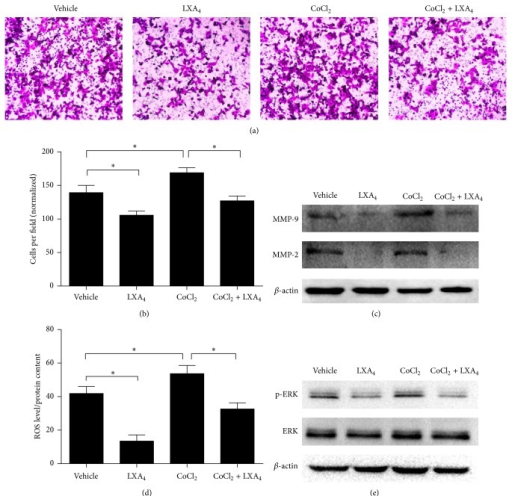 LXA4 reverses CoCl2-induced cell invasion through ROS/ERK/MMP pathway. (a) Effect of LXA4 on CoCl2-induced cell invasion. Panc-1 cells were treated with vehicle (methanol), LXA4, CoCl2 (0.15 mM), or CoCl2 + LXA4. Cell invasion assay was performed when cells had been transferred into transwell chamber for 48 hours. (b) The quantified data of (a). (c) Western blot analysis of cells treated as above. (d) Intracellular ROS determined in cells treated in (a). Cells incubated with DCF-DA for 20 min were washed with PBS three times and then lysed by RIPA lysis buffer and tested by fluorimetry at 510 nm. The absorbance was normalized by total protein. (e) Expression of activated p-ERK and total ERK detected by western blot.  ∗P < 0.05 versus corresponding control.