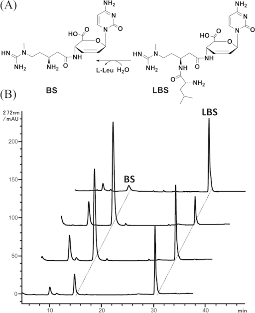 Transformation of LBS to BS is significantly affected by fermentation conditions.(A) Schematic representation of transformation of LBS to BS; (B) HPLC analysis of metabolites produced by S. lividans WJ2 which was engrafted with the expanded BS biosynthetic gene cluster in different fermentations. BS is abbreviated for the blasticidin S, LBS is for leucylblasticidin S. The ratio between LBS to BS varied from 2:9 to 9:1 in different fermentations.