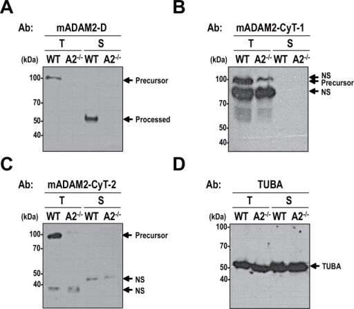 Immunoreactivity of mouse ADAM2 antibodies.Lysates from testicular cells and sperm from wild-type and Adam2-/- mice were boiled in 3% SDS and 5% β-mercaptoethanol and subjected to Western blot analyses. A. Western blotting with the anti-mADAM2-D antibody. This antibody was raised against the ADAM2 disintegrin domain, and recognized the precursor (100-kDa) and processed (45-kDa) forms of ADAM2 in mouse testis and sperm, respectively. B and C. Blots performed using two different antibodies, which were raised against the cytoplasmic tail domain and designated B. anti-mADAM2-CyT-1 and C. anti-mADAM2-CyT-2. D. An antibody against a-tubulin (TUBA) was included as a control. Experiments were repeated three times. Reduced protein samples were subjected to SDS-PAGE using 10% resolving gels. Abbreviations: T, testicular cells; S, sperm; WT, wild-type; A2-/-, Adam2-/-; NS, non-specific. Molecular masses are presented on the left.