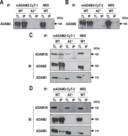 Coimmunoprecipitation of ADAM2 in mouse testes.A and B. Testes from wild-type and Adam2-/- mice were lysed with 1% NP-40 buffer, the tissue lysates were immunoprecipitated with A. anti-mADAM2-CyT-1 and B. anti-mADAM2-CyT-2, and the resolved immunoprecipitates were immunoblotted with anti-mADAM2-D. Normal rabbit serum was used as a control. C and D. Lysates were precipitated with C. anti-mADAM2-Cyt-1 and D. anti-mADAM2-CyT-2 and analyzed by immunoblotting with anti-mADAM2-D, anti-mADAM1B, and anti-mADAM3. Experiments were repeated five times. Reduced protein samples were subjected to SDS-PAGE using 8% resolving gels. Abbreviations: WT, wild-type; A2-/-, Adam2-/; TL, tissue lysate (100 μg); IP, immunoprecipitated protein (1 mg); NRS, normal rabbit serum; and IB, immunoblotting.