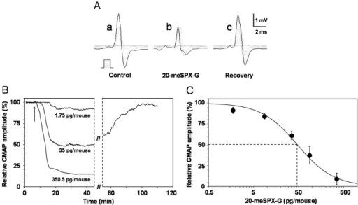 Effects of i.m. local injections of 20-meSPX-G in vivo on the mouse neuromuscular system. (A) Compound muscle action potentials (CMAPs) recorded from the tail muscle in response to caudal motor nerve stimulation (increasing intensities, scheme), before and at various times after injection of the cyclic imine toxin (35 pg/mouse); (B) time-course of the effects of 20-meSPX-G injections (1.75, 35 and 350.5 pg/mouse) on the CMAP maximal amplitude. Arrows indicate the time of injections; and (C) dose-response curve of the effects of 20-meSPX-G injections on the maximal CMAP amplitude. Each value represents the mean ± SEM of data obtained from 4–6 mice, and is expressed relatively to that obtained before injections. The sigmoid curve was obtained by nonlinear regression analysis through data points (R2 ≥ 0.99). The 20-meSPX-G dose required to block 50% of the maximal CMAP amplitude (dashed lines) was 47 pg/mouse.