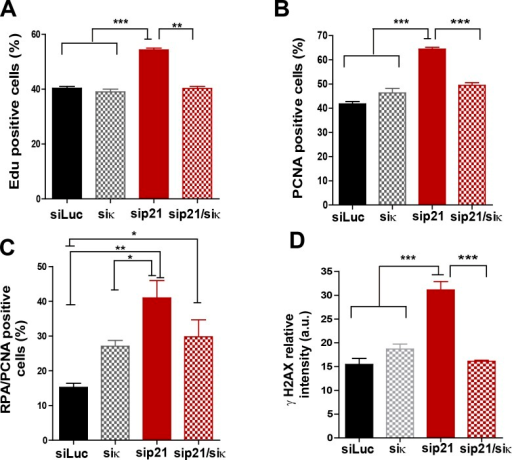 Pol κ depletion prevents the accumulation of DNA replication stress markers caused by p21 downmodulation.(A) Quantification of EdU positive cells transfected with the indicated siRNAs. 200 nuclei per sample were analyzed in three independent experiments. (B) Quantification of CSK-resistant, PCNA positive U2OS cells transfected with the indicated siRNAs. 250 nuclei per sample were analyzed in three independent experiments. (C) Quantification of nuclei with more than 10 RPA foci in PCNA positive cells after transfection with the indicated siRNAs. 150 nuclei per sample were analyzed in three independent experiments. (D) Quantification of nuclear γH2AX intensity in cells transfected with the indicated siRNAs. 200 nuclei per sample were analyzed in two independent experiments.DOI:http://dx.doi.org/10.7554/eLife.18020.014