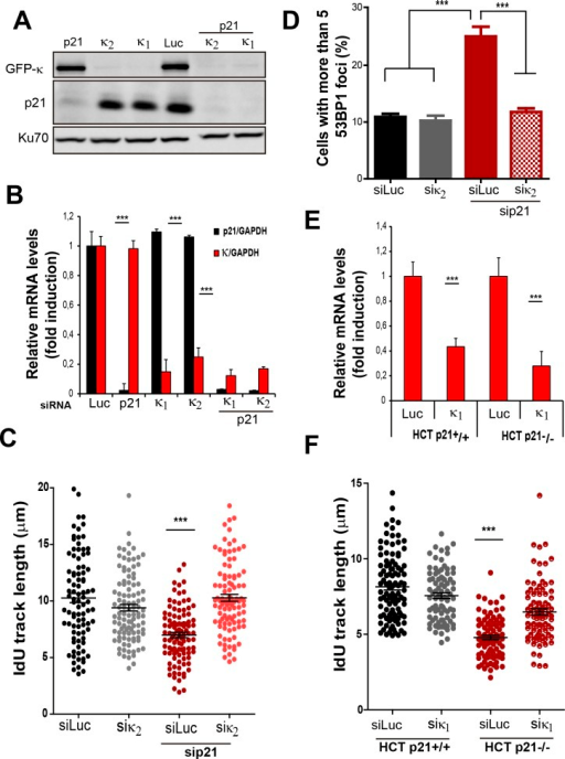 Pol κ prevents the accumulation of DNA replication stress in p21 depleted cells independently of the siRNA used and in cells stably lacking p21.(A) U2OS cells were transfected with sip21 and 2 different siRNA for Pol κ. Western Blot analysis was performed to detect endogenous p21 and GFP- Pol κ. (B) RT-PCR was performed to detect mRNA levels of p21 and Pol κ using the indicated siRNAs. (C) IdU track length was measured using 2 different siRNAs for Pol κ in siLuc and sip21 depleted cells. 100fibers/sample were counted in 2 independent experiments. (D) Cells with more than five 53BP1 foci were analyzed in cells depleted of p21 and using 2 different siRNAs for Pol κ. (E) RT-PCR was performed in HCT116 p21+/+ and p21−/− cells to determine mRNA levels of Pol κ. (F) IdU track length in HCT116 p21+/+ and p21−/− depleted of Pol κ.100fibers/sample were counted in 2 independent experiments.DOI:http://dx.doi.org/10.7554/eLife.18020.015