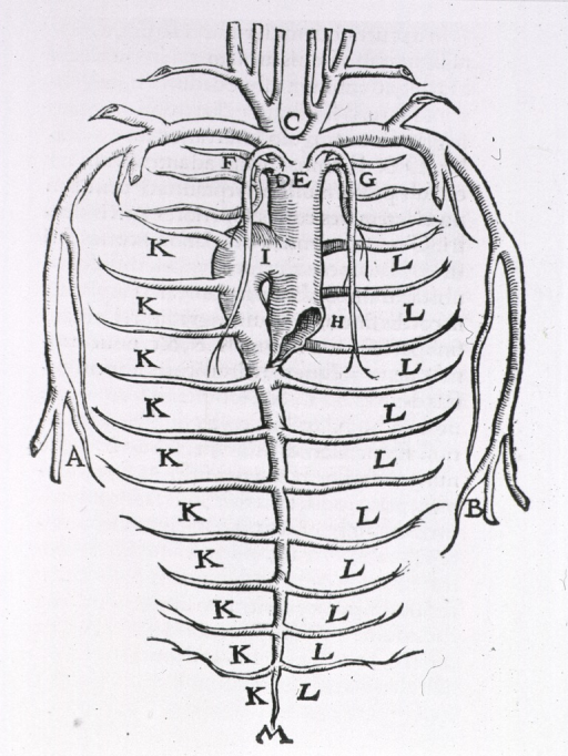 <p>Illustration depicting the network of arteries of the thorax.</p>