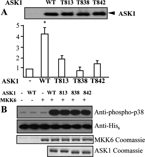 Effects of Mutation at T813A, T838A, and T842A on ASK1 Activity(A) 293T cells were transfected with various ASK1 mutants in the presence of an ASK1-JNK-dependent reporter gene. A renilla construct was cotransfected as an internal control. HIPK1-WT and T838A were used as controls. Both luciferase and renilla units were measured. Relative luciferase activities are presented from mean of duplicate samples by taking vector control as 1. Similar results were obtained from two additional experiments. Data are presented as mean of duplicates from two independent experiments. ASK1 protein expression was determined by Western blot (lower panel) with anti-HA-POD (anti-HA-conjugated peroxidase; Roche).(B) The ASK signaling pathway was reconstituted in vitro with recombinant ASK1 and its phosphorylation site mutants, MKK6 as well as p38. p38 phosphorylation was detected with an antibody specific phosphorylated p38. Corresponding Coomassie gels as well as a his-tag-specific antibody has been used to demonstrate identical loading concentrations of the samples.