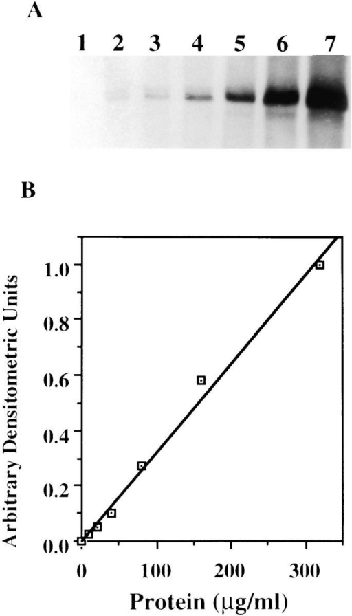 Immunoblot analysis of a wide range of cellular c-src.  (A) Cell lysates containing 0, 10, 20, 40, 80, 160, and 320 μg of  protein were loaded in lanes 1, 2, 3, 4, 5, and 6, respectively. The  gels were electrophoresed and probed with anti–c-src antibody.  (B) Densitometric analysis of A plotted in arbitrary units as a  function of protein.
