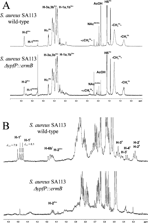 NMR analyses. A. 1H NMR spectra (600 MHz, D2O, 300 K) of HIC-purified intact LTA. Characteristic resonances for the [Gro-P]n repeating units, fatty acids and Gro-P substituents (d-Ala and α-d-GlcNAc) are indicated. B. 1H NMR spectra (600 MHz, D2O, 300 K) of the putative glycan backbone fragments isolated from HIC-purified LTA after HF treatment, de-O-acylation and GPC. Signals indicated in the glycerol β-gentiobiose pseudotrisaccharide (top) lack in the sample from the S. aureus SA113 ΔypfP::ermB mutant (bottom). Resonances in the region of 3.4–3.9 p.p.m., which appear in both preparations, arise from incompletely degraded LTA repeating units [(Gro-P)n (Gro-P-Ala)n and (Gro-P-GlcNAc)n with n ∼ 1–4] co-eluting in GPC with the glycerol β-gentiobioside.
