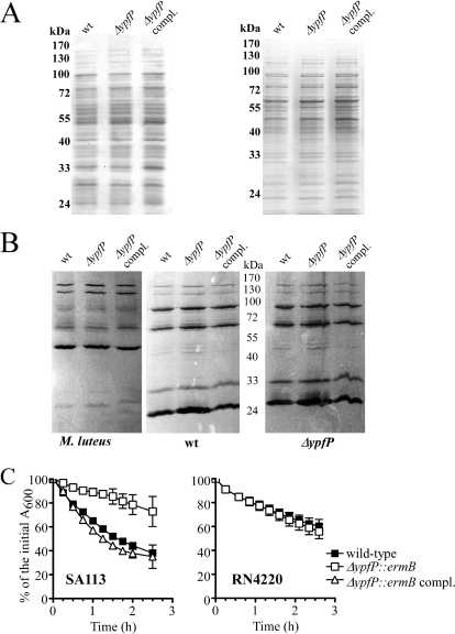 Impact of ypfP deletion on cell wall proteins. A. Surface protein patterns of cells grown to logarithmic (left) or stationary (right) phase. SA113 wild-type and SA113 ΔypfP::ermB mutant strains did not differ in overall amounts of cell wall proteins. Ten micrograms of surface proteins of the indicated SA113 strains were separated in 10% polyacrylamide gels and stained with Coomassie brilliant blue R-250. B. Zymographic analyses. Surface proteins (20 μg) of SA113 log-phase bacteria were separated in 10% SDS-polyacrylamide gels containing heat-killed Micrococcus luteus (M. luteus), S. aureus SA113 wild type (wt) or S. aureus SA113 ΔypfP::ermB mutant cells (ΔypfP). Active bacteriolytic enzymes appear as clear zones in the opaque gels. The inverse pictures are shown. C. Spontaneous bacterial autolysis. Data represent the means ± SD of three independent experiments.