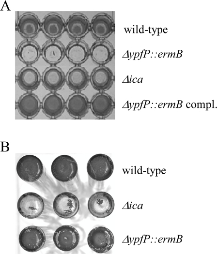 In vitro biofilm formation. A. S. aureus SA113 strains adhering to polystyrene microtitre plates were stained with safranin. Four replica are shown. B. Biofilm formation as in (A) but in glass tubes. Three replica are shown.