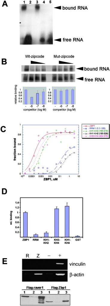 The KH domains of ZBP1 specifically bind the zipcode of β-actin mRNA. (A) Electrophoretic mobility shift assay of 32P-labeled zipcode RNA with recombinant GST–ZBP1 fragments. ZBP1 fragments were incubated with labeled zipcode in the presence of E. coli tRNA nonspecific competitor followed by heparin. (Lane 1) ZBP1; (lane 2) RRM1–2 (1–195); (lane 3) KH1-KH4 (195–576); (lane 4) GST; (lane 5) no protein. Note that only the full-length protein and the fragment containing the KH domains (lanes 1 and 3) caused a significant shift of the labeled RNA. No binding was observed for the RRM domains or GST (2 and 4). (B) Interaction between zipcode RNA and ZBP1 was reduced by addition of wild-type zipcode RNA but not by mutated zipcode RNA. (C) Nitrocellulose filter binding assay of recombinant GST–ZBP1 fragment affinity for β-actin mRNA zipcode: ZBP1 (1–576), RRM1-2 (1–195), KH1-KH4 (195–576), KH1-2 (195–308), KH3-KH4 (404–576). Recombinant proteins at various concentrations were incubated with 32P-labeled zipcode RNA. Bound probe was detected by Cerenkov counting after binding of the protein–RNA complex to the filter and intensive washing. All fragments containing at least KH domain 3 and 4 bound the zipcode with a Kd in the nM range. (D) To determine the relative affinities of GST–ZBP1 fragments for full-length β-actin, mRNA binding was analyzed in GST pull-down assays. The fraction of bound 32P-labeled human β-actin RNA retained on equal amounts of immobilized GST–ZBP1 proteins were normalized to binding of full-length ZBP1 and plotted according to the fragments used. All proteins containing at least KH3 and 4 bound the full-length mRNA at apparently equal affinity. (E) Human β-actin mRNA coimmunoprecipitates specifically with Flag-tagged ZBP1. RT-PCR amplification of vinculin or β-actin mRNA extracted from supernatant of nontransfected cells (+) or pellets of FLAG–ZBP1 (Z), FLAG–raver1 (R), or mock (−)-transfected cells after immunoprecipitation with anti-Flag (M2). Human β-actin mRNA was specifically enriched in FLAG–ZBP1 pellets, whereas no enrichment of vinculin mRNA was detected. Precipitation of the FLAG-tagged raver1 (left, bottom) or ZBP1 (right, bottom) was verified by Western blotting of pellet fractions using anti-Flag (M2) antibody. (Lane 1) Total cell extract; (lane 2) supernatant after immunoprecipitation; (lane 3) pelleted fraction.