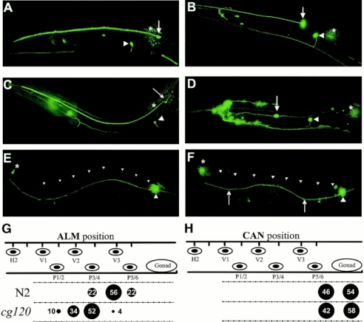Cell positioning and axon guidance of mechanosensory neurons. The mec-7::GFP marker was used to visualize the anterior (A–D) or posterior (E–F) mechanosensory neuron cell bodies and axons. Anterior is left, and dorsal is up in all panels. (A) In wild-type animals, ALMR (arrow) is located posterior and dorsal of AVM (arrowhead). ALML (*) is out of the plane of focus. (B) In a cg120 mutant, ALMR (arrow) is located anterior of AVM (arrowhead), whereas ALML (*) is normally positioned. (C) In a cg120 animal expressing mec-7::CelNC1, the anterior mechanosensory neurons are normally positioned. (D) In a wild-type animal expressing mec-7::CelES, ALMR (arrow) is located both anterior and ventral of its normal position, whereas ALML is normally positioned. (E and F) PLM cell bodies are not mispositioned in cg120, so their axons were analyzed for guidance defects. (E) In wild-type animals, the PLMR axon (large arrowhead) extends anteriorly along the sublateral tract and terminates just posterior of the ALMR cell body (*). The dorsal edge of the animal is indicated (small arrowheads). (F) In a cg120 animal, the PLMR axon deviates dorsally from the normal ventral sublateral position over a segment of its path (arrows). (G and H) The positions of ALM mechanosensory neurons (G) and canal-associated neurons (CAN; H) were scored in first larval stage animals immediately after hatching using differential interference contrast optics. Cell positions were scored relative to the hypodermal nuclei, which are represented by ovals in the upper part of the drawing. These nuclei are in fixed positions and are used as static markers to score cell positions. Numbers and circles in the lower part of the drawing indicate the percent of animals (n = 50) with cells in the indicated positions.
