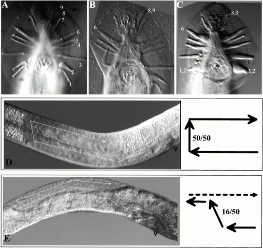 Male tail and gonad migration defects. Defects in morphogenesis of the male tail (A–C) and the hermaphrodite gonad (D and E), visualized with differential interference contrast microscopy. (A) Ventral view of a wild-type male tail showing the nine bilateral pairs of sensory rays, labeled 1–9, on the left side of the animal. (B) A cg120 male tail shows fusion of rays 8 and 9 (8,9). On the right side, ray 6 is broader than normal, and the cuticle covering it is irregular. (C) The tail of a male ectopically expressing mec-7::CelES shows fusion of rays 1 and 2 (1,2) on both sides of the animal. Ray 6 on the right side (6) appears crumpled, and rays 8 and 9 on the left have fused (8,9). The fans and rays of males expressing mec-7::CelES are smaller than those of wild type. (D) The anterior arm of a wild-type fourth larval stage hermaphrodite gonad. The distal tip cell (DTC) leads gonad migration anteriorly along the dorsal body wall, turns and migrates to the dorsal side, and then migrates posteriorly. The position of the vulva (V) is indicated. A schematic depiction of the DTC migration path is shown to the right of the micrograph. 100% (50/50) of wild-type animals showed this migration pattern. (E) In this cg120 animal, the DTC migrated anteriorly, turned dorsal prematurely while continuing to migrate anteriorly, and then reflexed and migrated posteriorly (dashed line) along the dorsal body wall. The final posterior migration is below the plane of focus. 32% (16/50) of cg120 animals displayed similar migration defects of the anterior gonad. 16% of posterior gonads showed the same defects.