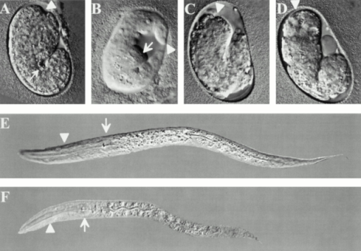 RNAi against cle-1 results in embryonic and larval lethality. (A–D) Embryonic lethality resulting from RNAi against cle-1. Embryos are oriented with anterior up and ventral to the right. The position of the presumptive oral cavity is indicated by an arrowhead. (A) A wild-type embryo at the 1.5-fold stage of embryogenesis. (B) An embryo arrested at the 1.5–2-fold stage of embryogenesis resulting from RNAi into the wild-type background. The embryo has herniated at the ventral pocket (arrow), which forms during enclosure by the hypodermis. (C and D) Embryos arrested at the 1.5-fold stage of embryogenesis resulting from RNAi into the cg120 background. The embryos are small and misshapen, suggesting defects in hypodermal function. (E and F) Larval lethality resulting from RNAi against cle-1. The posterior bulb of the pharynx is indicated by an arrow, and the anterior bulb by an arrowhead. (E) Wild-type first stage larva. The body has a uniform diameter along its length, and the pharynx lies along the central axis of the animal. (F) Arrested first stage larva resulting from RNAi into the wild type background. The animal is smaller than wild type, and the posterior body is shrunken relative to the anterior. The pharynx is mislocalized laterally and does not pump.