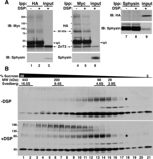 Identification of ZnT3 oligomeric states.A) Triton soluble extracts of PC12 cells (450 µg) co-expressing ZnT3-HA and ZnT3-myc, treated with and without cross-linker (DSP), were immunoprecipitated with HA (lanes 1 and 2), myc (lanes 4 and 5) or synaptophysin (Sphysin, lanes 7 and 8) antibodies. Western blots were probed with myc, HA and synaptophysin and ZnT3 antibodies, respectively. Control immunoprecipitation with synaptophysin antibodies fail to isolate ZnT3. Input 10 µg. B) 1.5 mg of Triton-X100 soluble supernatant of ZnT3-myc expressing cells treated in the presence of vehicle (DMSO) or DSP (+DSP) were separated by sucrose sedimentation. Fractions were collected from the bottom and analyzed by immunoblot with myc antibodies. An 80 kDa and high molecular weight forms of ZnT3 were observed, together with the monomeric 40 kDa species.