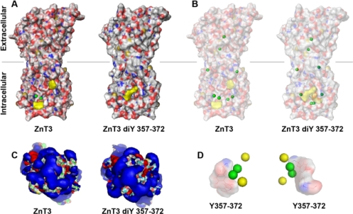 ZnT3 homology modeling with the bacteria Yiip zinc transporter.Human ZnT3 pairs or ZnT3 pairs bridged in trans by dityrosine bonds between tyrosine residues 357 and 372 were modeled using AMMP and visualized with Pymol. Modeling coordinates were obtained from the crystal structure of YiiP bound to zinc atoms. A) Depicts lateral views of ZnT3 pair surface models. Gray lines represent the middle of the lipid bilayer. Zinc atoms are depicted as green spheres. Tyrosines 357 and 372 are depicted either single or bonded in yellow. B) Depicts diaphanized surface models to highlight the position of zinc atoms (green spheres). C) Cytoplasmic views of the solvent exposed areas in the absence or presence of dityrosine bonding. Blue depicts the negative and red the positive potentials. D) Cytoplasmic view of zinc atoms arrangement in the cytosolic domain of ZnT3 pairs either in the absence of dityrosine bonds (green spheres) or in the presence of dityrosines (yellow spheres). Dityrosines bonds are represented as a reference point.
