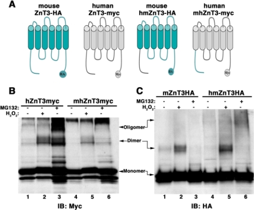 ZnT3 amino terminal domain regulates tyrosine dimerization.A) ZnT3 mouse and human chimeras, hmZnT3-HA and mhZnT3-myc, in which amino terminal domains (1–75) were exchanged were incubated with or without H2O2 or MG132 (B and C). Oligomerization was then compared with wild type mouse and human ZnT3. B) The amino terminal domain of mouse ZnT3 decreases human transporter's oligomerization. C) Human amino terminal increases mouse ZnT3 tyrosine oligomerization.
