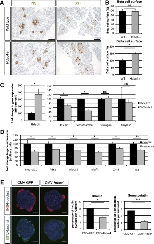 HDAC4 loss-of-function enhances δ-cell mass, whereas HDAC4 gain-of-function represses β- and δ-cell mass. A: Immunohistological analyses of wild-type and Hdac4−/− pancreas at P1. β-Cells and δ-cells were detected with insulin (INS) (brown, left panels) and somatostatin (SST) (brown, right panels) stainings. B: Morphometric analysis of β- and δ-cell surfaces by quantification of areas occupied by insulin- and somatostatin-positive cells. β-Cell and δ-cell surfaces were normalized to wild-type (WT) values (100%). Data are shown as means ± SEM. Four pancreata were analyzed for each genotype. C: qPCR analysis of Hdac4,insulin, somatostatin, glucagon, and amylase mRNA expression in pancreatic spheres transduced with CMV-GFP or CMV-HDAC4 lentivirus, followed by a 7-day culture period. D: qPCR analysis of NeuroD1, Pdx1, MafA, Nkx2.2, Znt8, and Ia1 mRNA expression in pancreatic spheres transduced with CMV-GFP or CMV-HDAC4 lentivirus, followed by a 7-day culture period. E: Immunohistological analyses of pancreatic spheres transduced with a lentivirus expressing enhanced GFP or HDAC4 followed by a 7-day culture period. β-Cells and δ-cells were detected with insulin (red) and antibody somatostatin (green) stainings. Nuclei were stained with Hoechst stain (blue). The absolute areas that were occupied by the insulin- and somatostatin-positive cells were quantified. β- and δ-Cell areas are presented as a percentage of the total tissue area. qPCR data and immunohistological analyses are the means ± SEM of five and six independent experiments, respectively. *P < 0.05; **P < 0.005; ***P < 0.001. Scale bar, 100 μm (A) and 50 μm (E). (A high-quality digital representation of this figure is available in the online issue.)