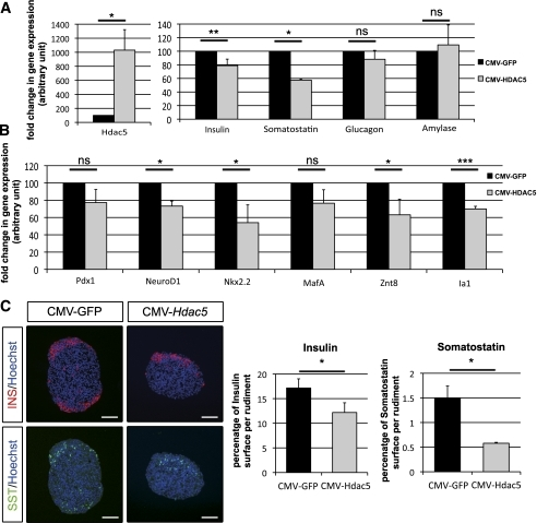 HDAC5 gain-of-function represses β- and δ-cell mass. A: qPCR analysis of Hdac5,insulin, somatostatin, glucagon, and amylase mRNAs expression in pancreatic spheres transduced with CMV-GFP or CMV-HDAC4 lentivirus, followed by a 7-day culture period. B: qPCR analysis of NeuroD1, Pdx1, MafA, Nkx2.2, Znt8, and Ia1 mRNA expression in pancreatic spheres transduced with CMV-GFP or CMV-HDAC5 lentivirus, followed by a 7-day culture period. C: Immunohistological analyses of pancreatic spheres transduced with a lentivirus expressing eGFP or HDAC5 followed by a 7-day culture period. β-Cells and δ-cells were detected with insulin (INS) (red) and antibody somatostatin (SST) (green) stainings. Nuclei were stained with Hoechst stain (blue). The absolute areas that were occupied by the insulin- and somatostatin-positive cells were quantified. β-Cell and δ-cell areas are presented as a percentage of the total tissue area. qPCR data and immunohistological analyses are the means ± SEM of three and four independent experiments, respectively. *P < 0.05; **P < 0.005; ***P < 0.001. Scale bar, 50 μm. (A high-quality digital representation of this figure is available in the online issue.)
