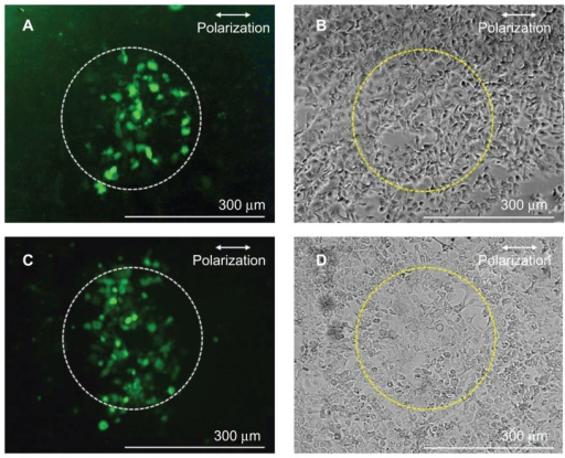 Fluorescence (A and C) and phase contrast (B and D) images of A431 cells perforated by using antibody-conjugated polylactic acid spheres irradiated by a single fs laser pulse at 1.06 J/cm2 in the presence of fluorescein isothiocyanate-dextran (A and B) and Alexa Fluor-labeled small interfering RNA (C and D).Note: Dashed circles (300 μm diameter) indicate the laser irradiated area. Abbreviation: fs, femtosecond.