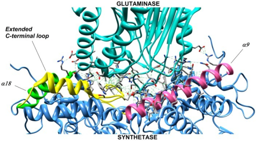 Contact regions between synthetase (blue) and glutaminase (cyan) domains in NADS from Mycobacterium tuberculosis.The majority of interacting residues were found in following structural regions-the α9, α18 helices and the extended C-terminal loop, which are highlighted by pink, green and yellow colors, respectively.